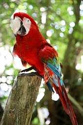 Jamaican_Parrot_J