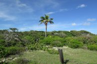 Tilloo Cay Land  palm