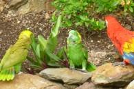 Parrots (1)